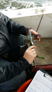 researcher measuring blue crab on boat