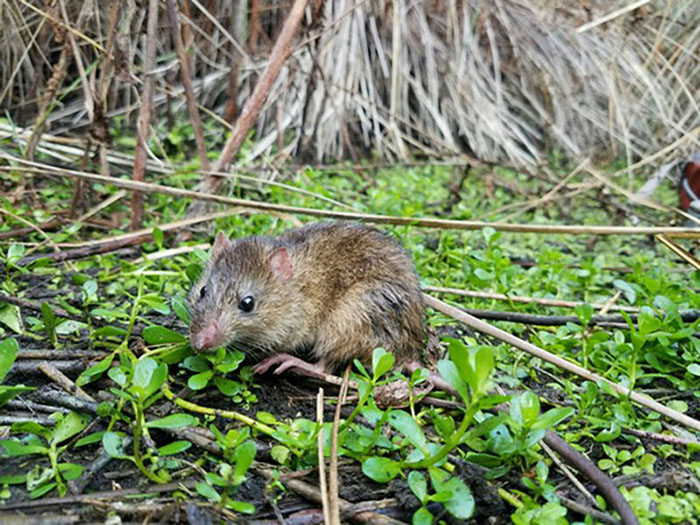 rat in green foliage