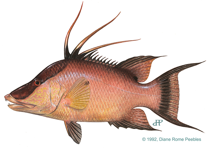 drawing of a hogfish