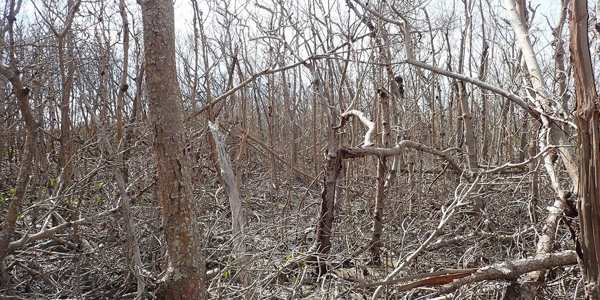 Example of severe mangrove damage