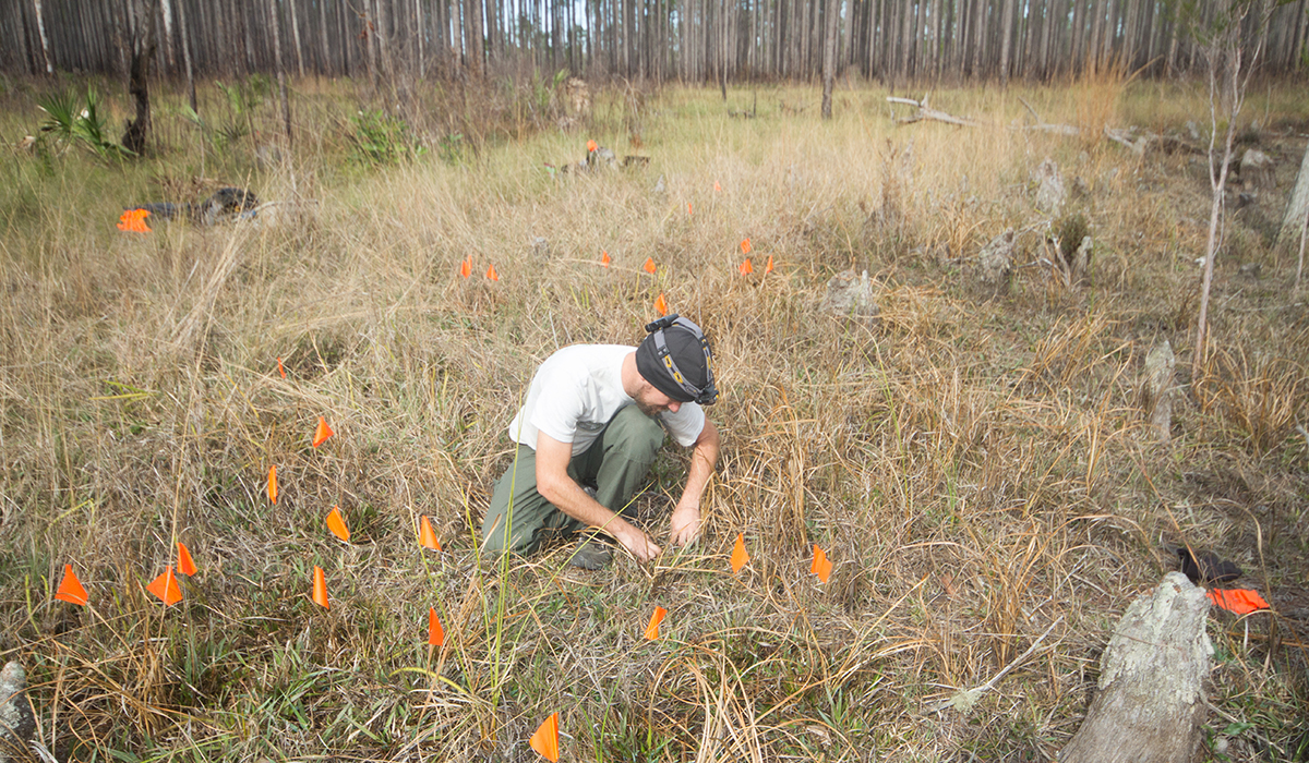 FWC biologist searches for flatwoods salamander eggs