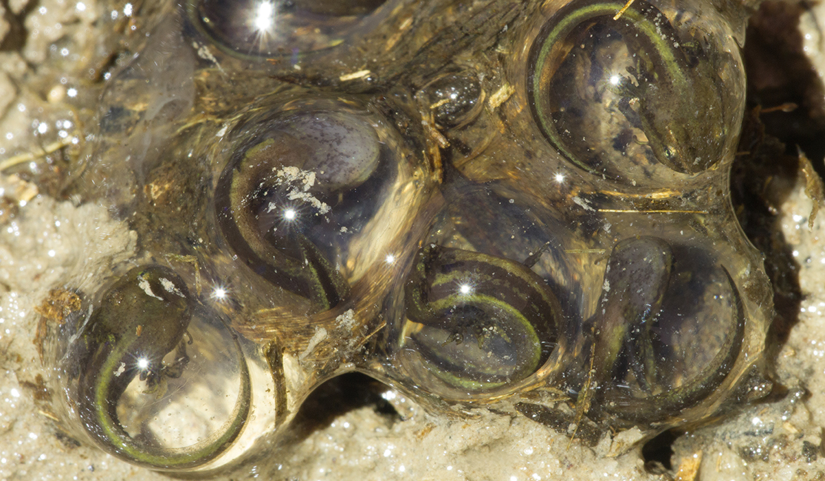 close-up of frosted flatwoods salamander eggs