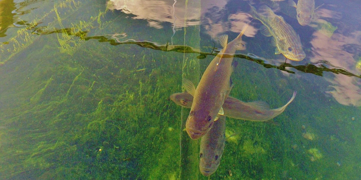 View from above an experimental tank where largemouth bass are housed