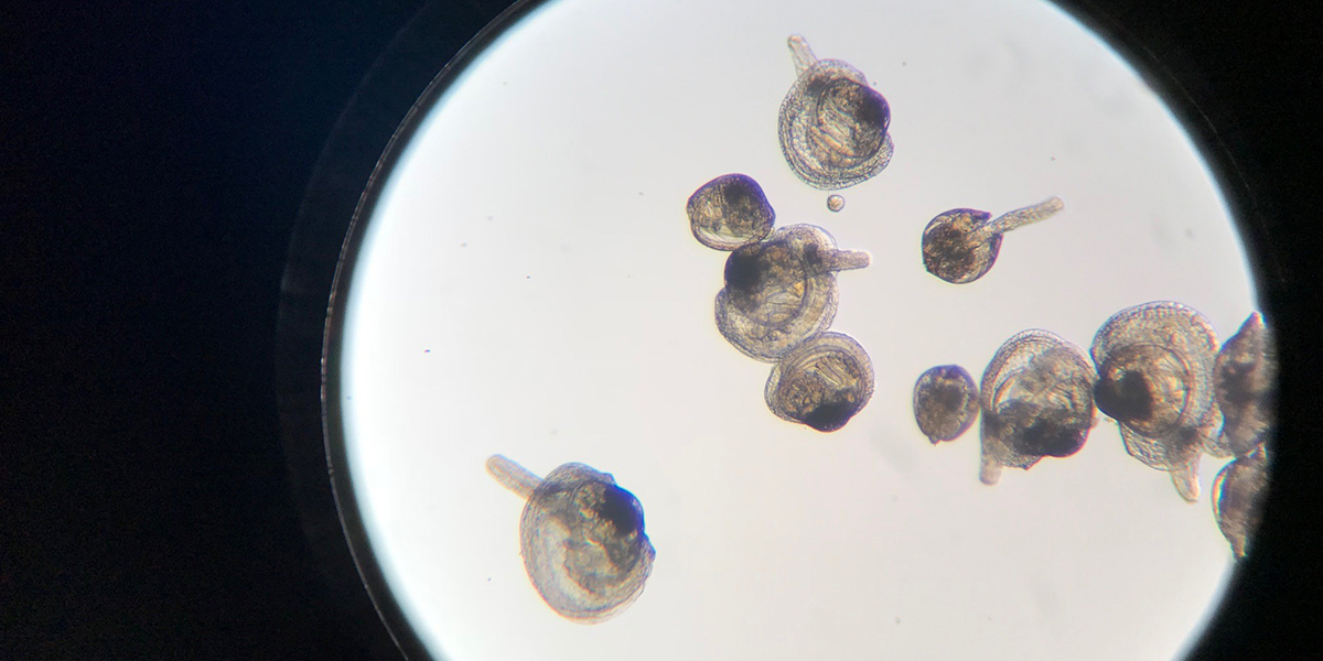 microscopic view of scallop larvae